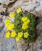 Dionysia diapensiifolia
