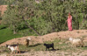 Girl in colorful Bazoft clothes  herding goats