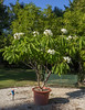 Plumeria alba