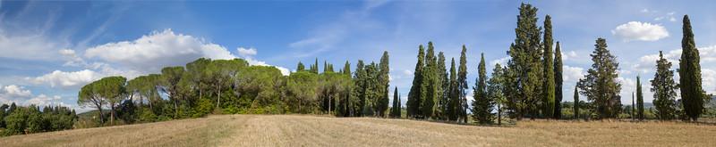 Umbrella pines and Cypresses