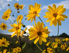Helianthus spec. or Coreopsis spec