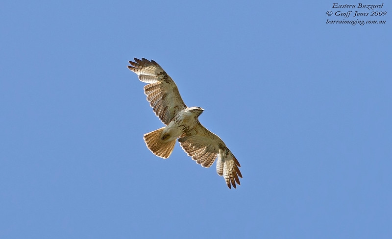 Eastern Buzzard