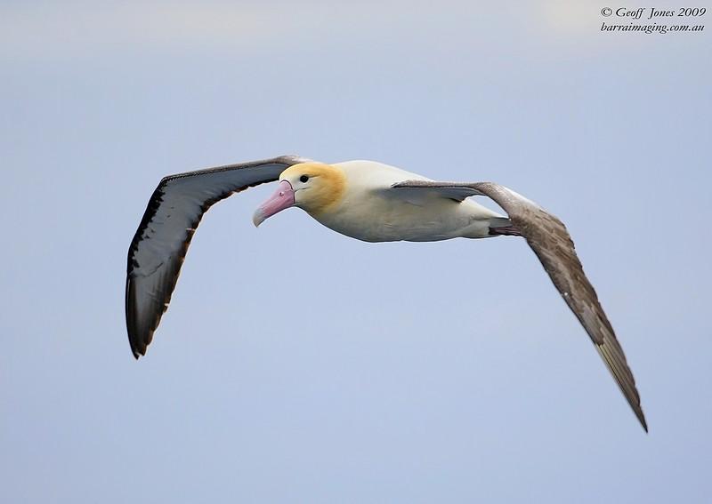 Short-tailed Albatross