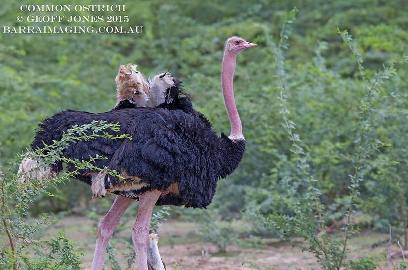 Common Ostrich male