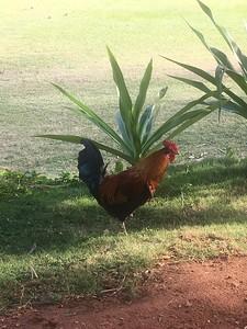 Chickens are everywhere on Kauai.