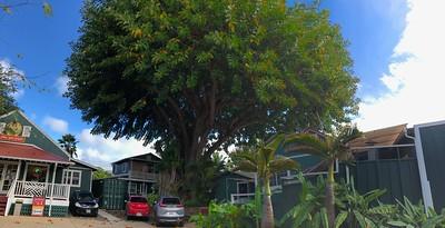 Interesting tree in Hanapepe.