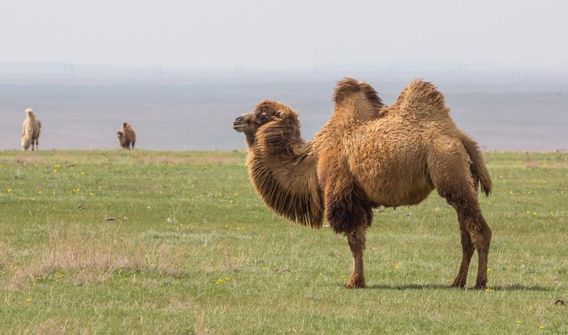 Camelus ferus ssp bactrianus