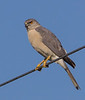 Accipiter brevipes