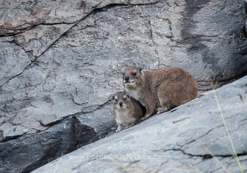 Rock Hyrax with Baby