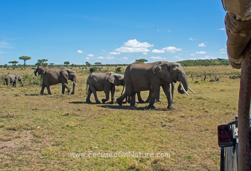 Elephant Stroll-by