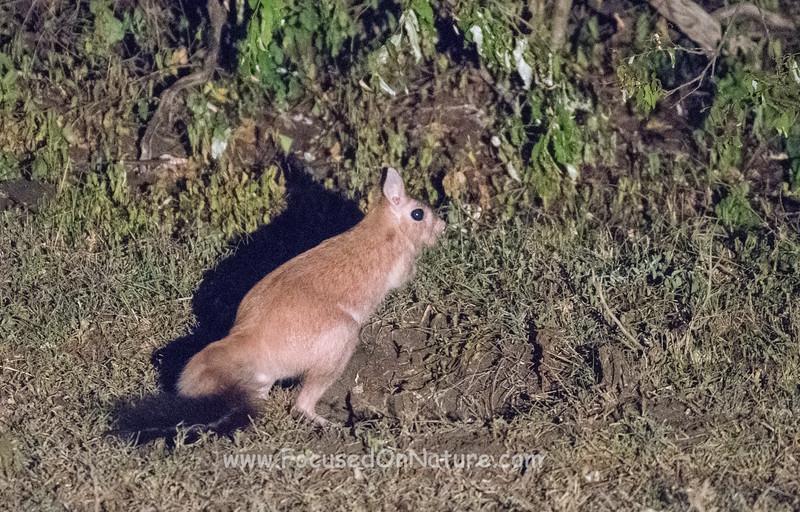 Spring Hare (African Kangaroo)