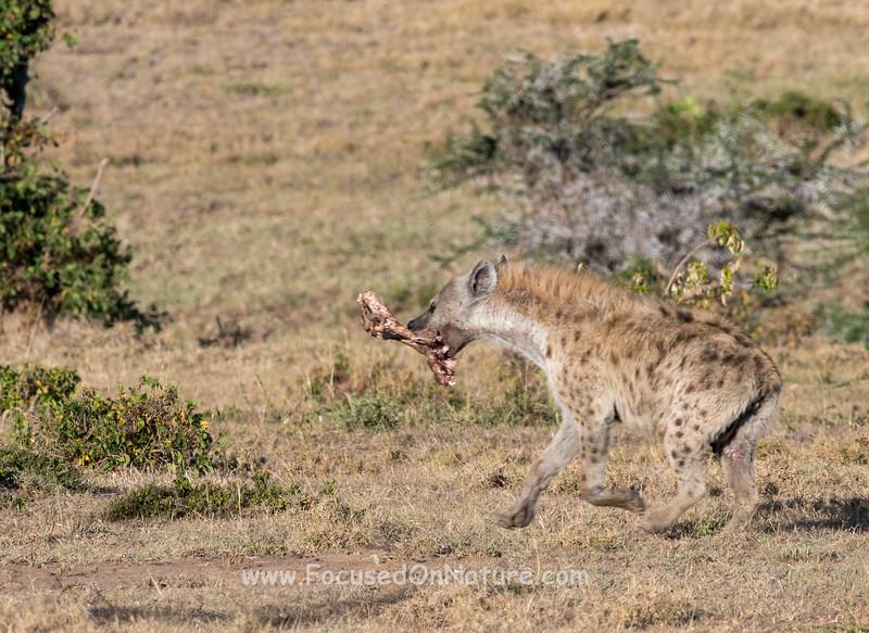 Hyena with Prize