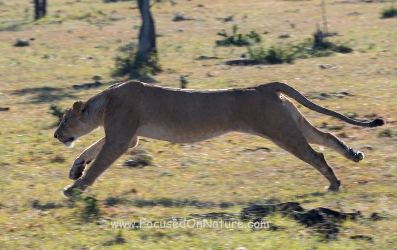 Lioness chasing Cheetah