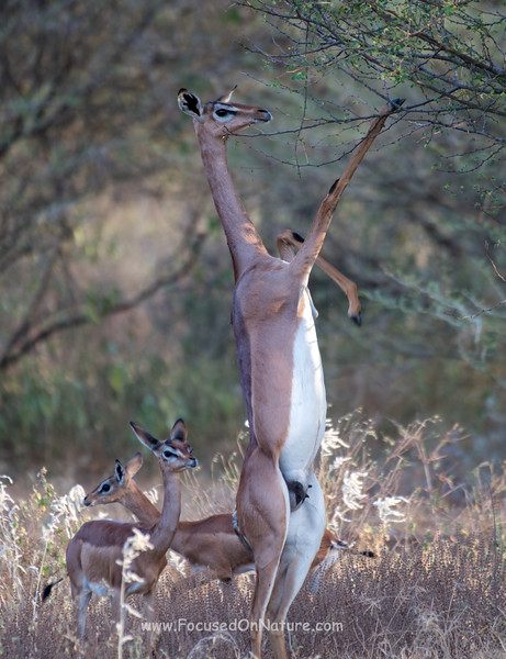 Gerenuk with Fawns