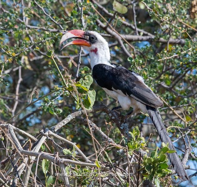 Vod der Decken's Hornbill