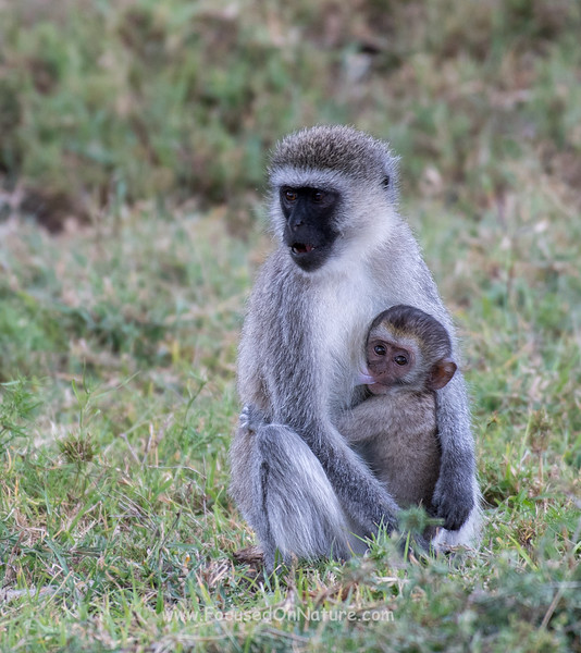 Vervet Monkey with nursing baby