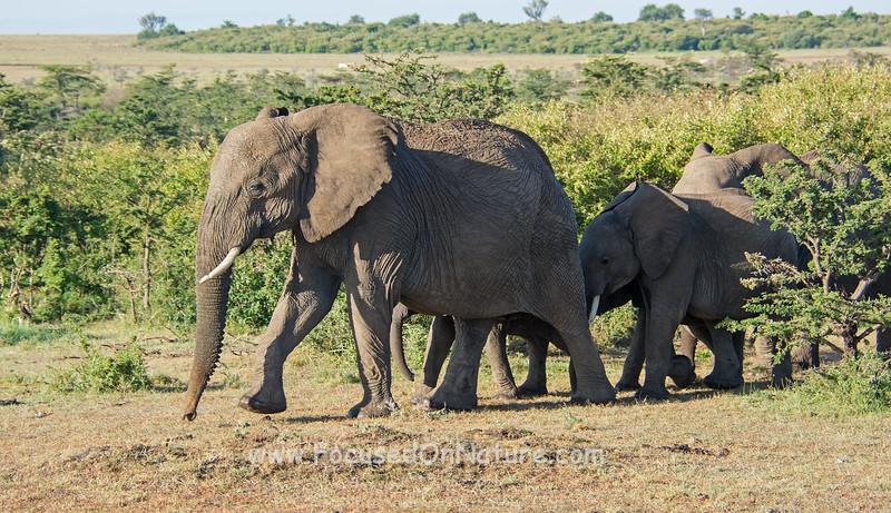 Elephant herd coming