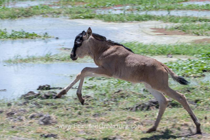 Frolicking Wildebeest Part 1