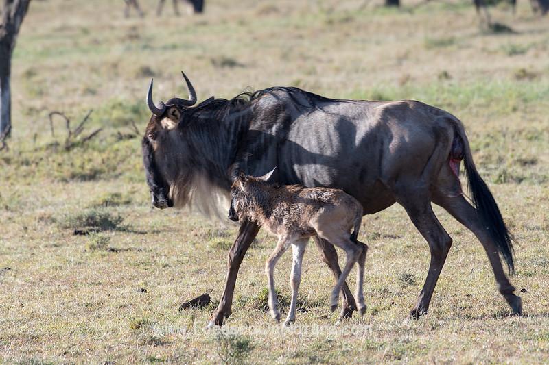 Newborn Wildebeest