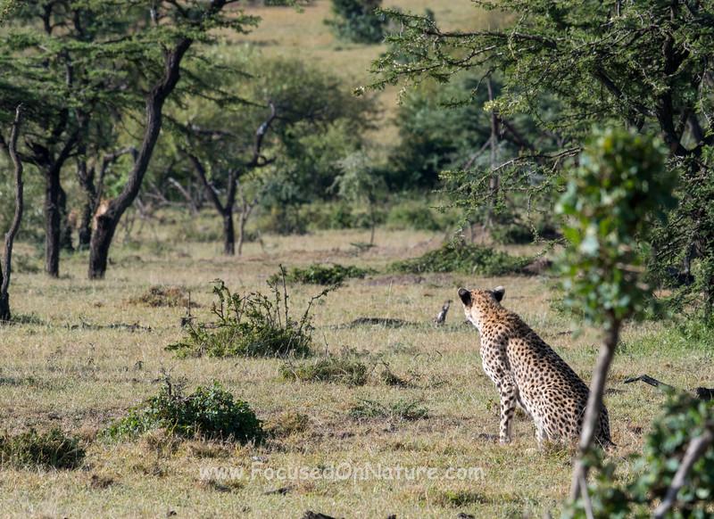 Cheetah eyeing distant Lion