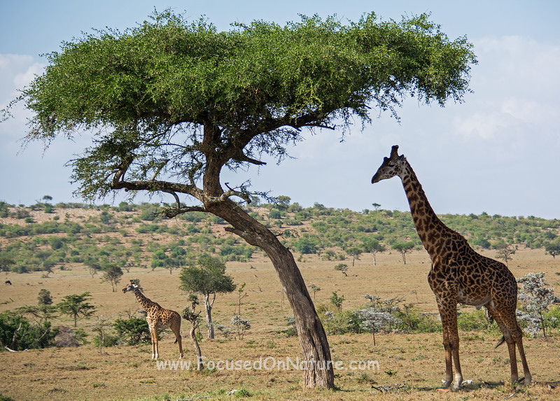 Young Giraffe needs to learn about shade