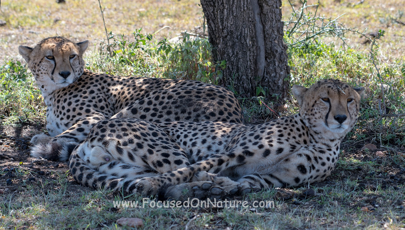 Typical Cheetahs...resting in the shade