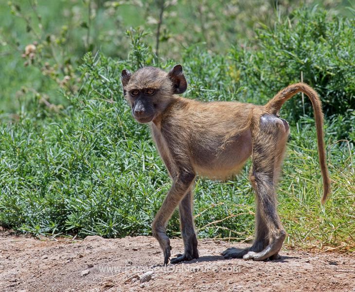 Yellow Baboon Baby