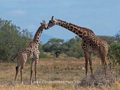 Masai Giraffe with Young