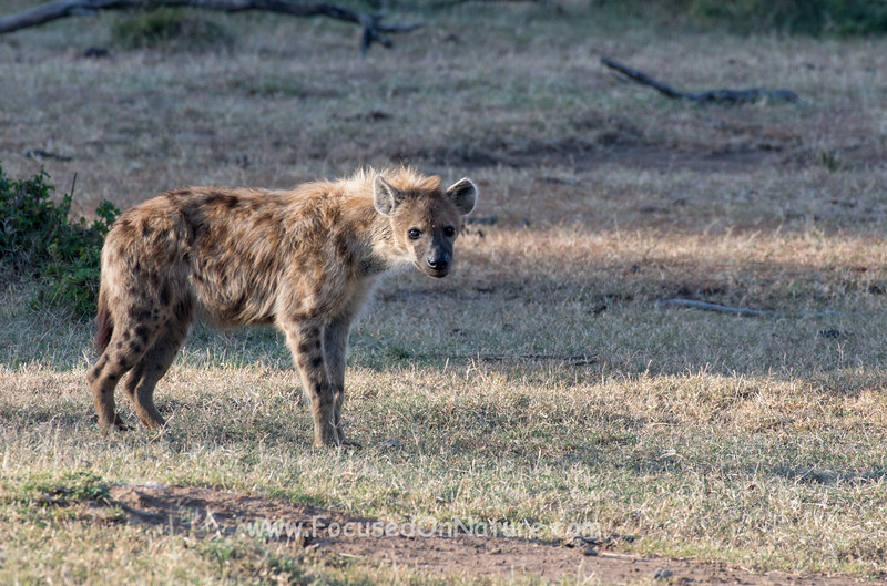 Hyena Waiting For Its Turn
