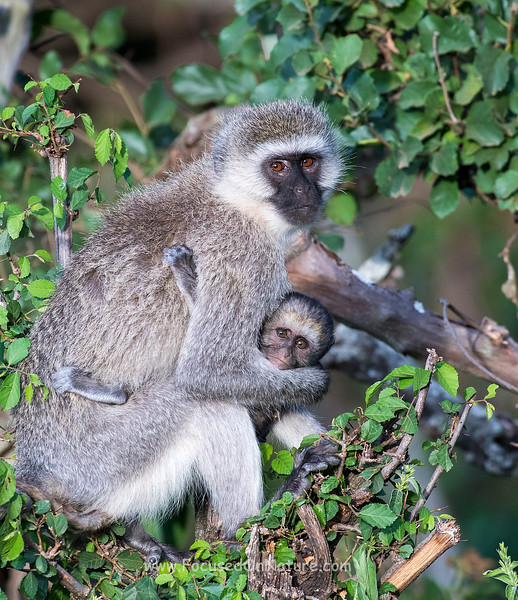 Vervet Monkey and Baby