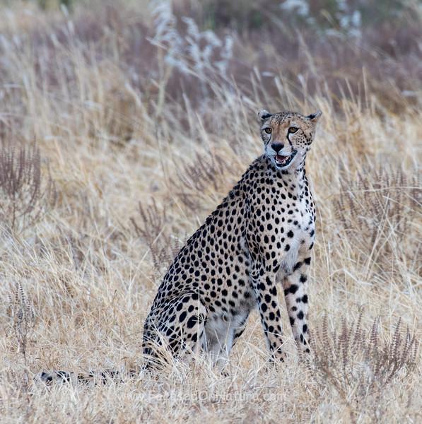 Cheetah Calling Cub