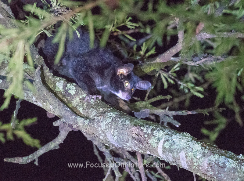 Greater Galago (Bushbaby)