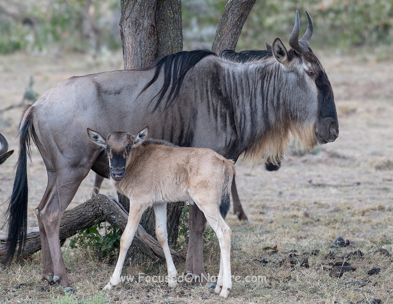 Mother and Baby Wildebeest
