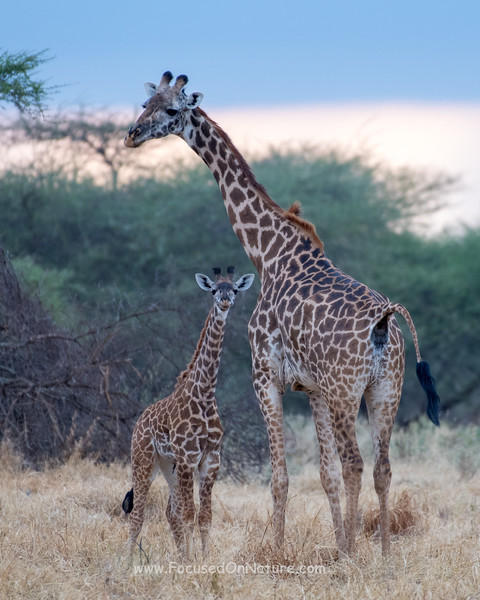 Giraffe and Youngster