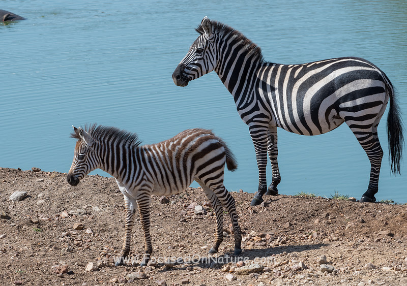Another Zebra and Foal