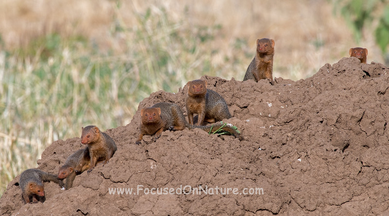 Dwarf Mongoose Family