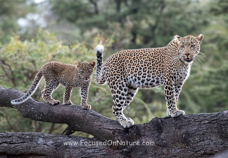 Fig the Leopard with Cub