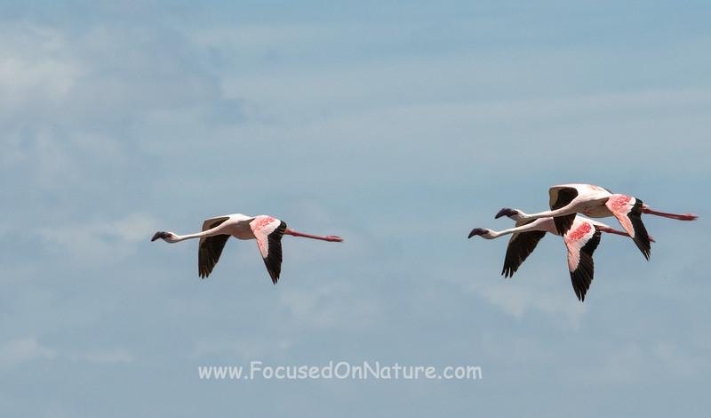 Lesser Flamingo Flyby