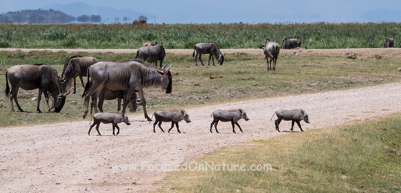 Warthog Youngsters