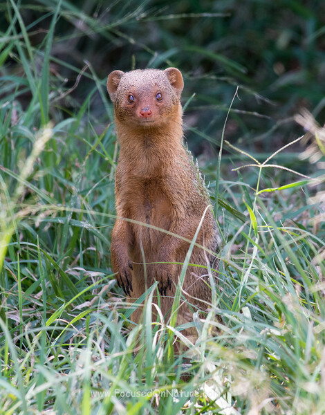 Curious Dwarf Mongoose