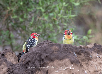 Red and Yellow Barbets