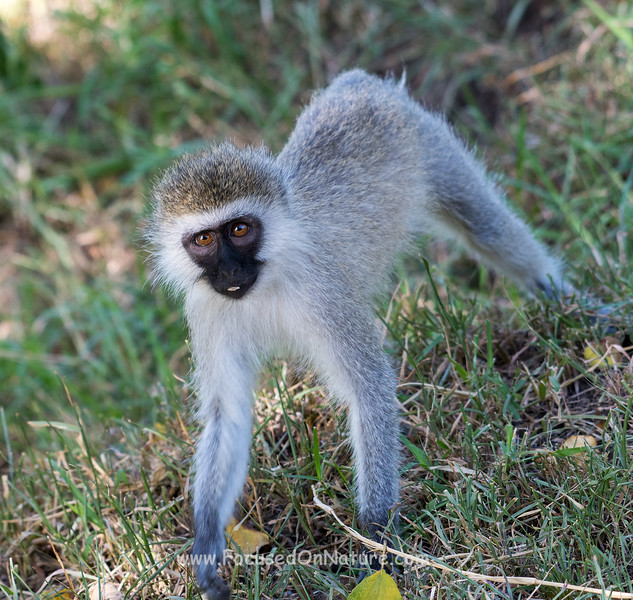 Cheeky Vervet Monkey