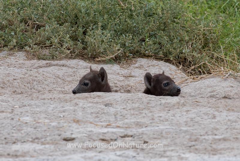 Tiny Hyena Pups