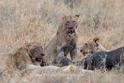Lion Feast
