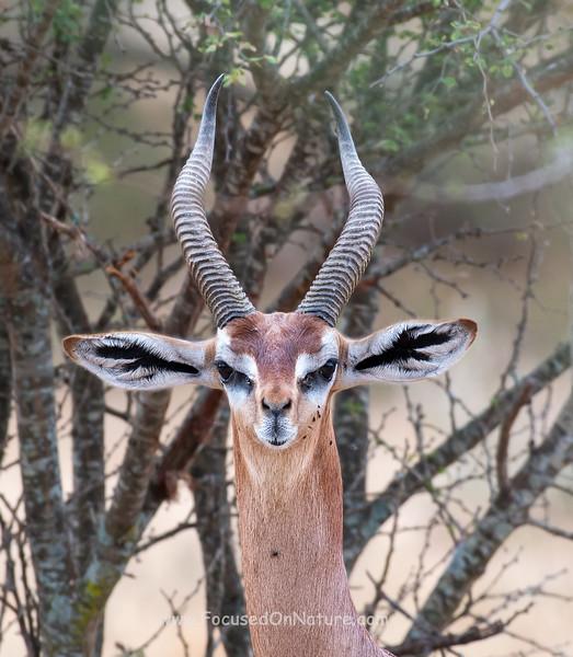 Gerenuk Closeup