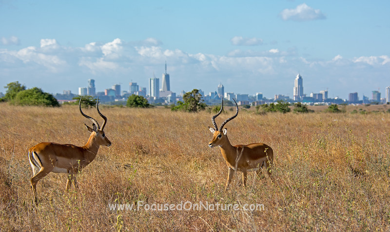 Impalas with Nairobi Skyline