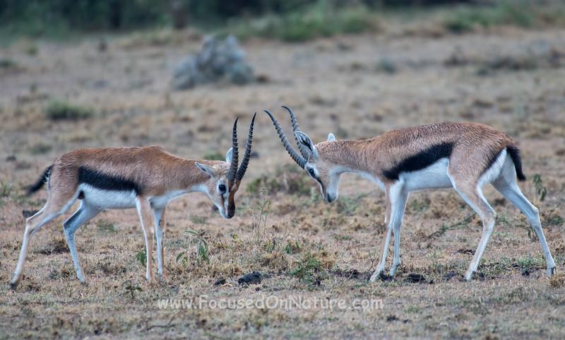 Dueling Thomson's Gazelle