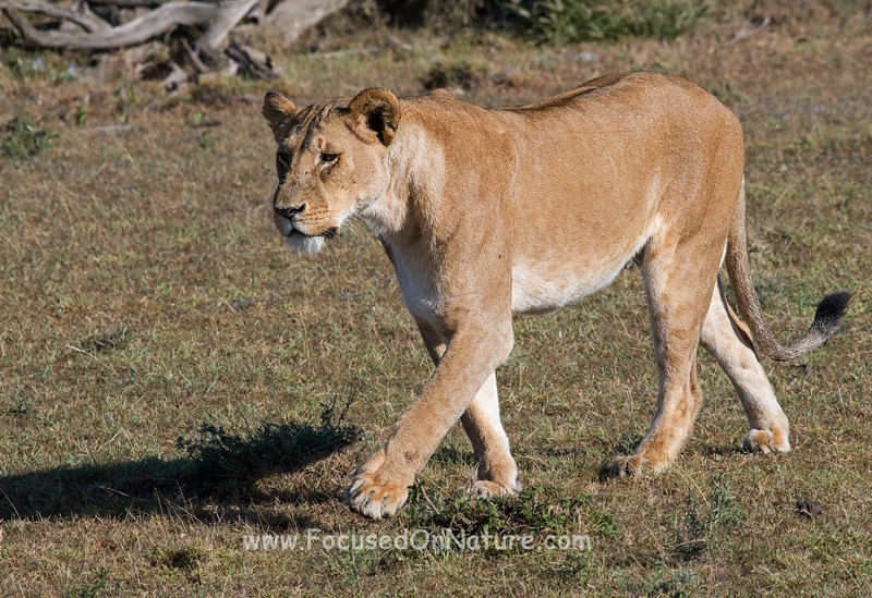 Lioness walking away