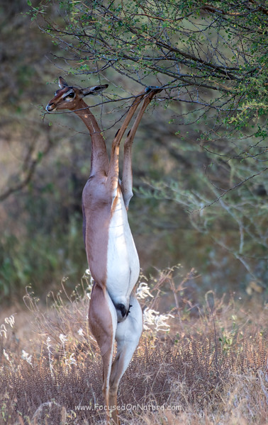 Gerenuk playing the