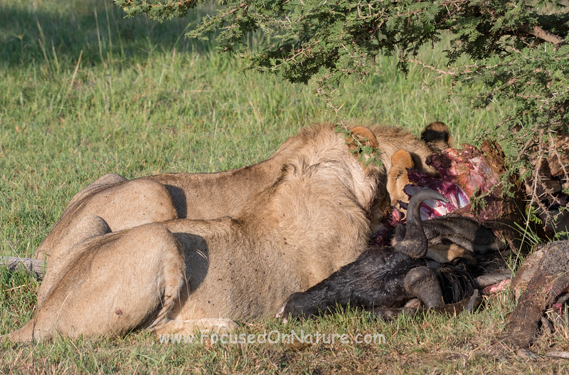 Wildebeest Kill